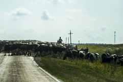 Shepherd en caballo y la manada de las vacas que cruzan el camino Fotos de archivo libres de regalías