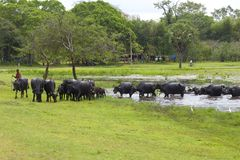 The shepherd expels herd of buffalo s from a pond Stock Images
