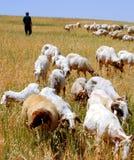 Shepherd and flock Stock Photo