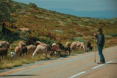 Shepherd with flock of goats grazing beside road. Serra da Estrela, Portugal, July 14, 2018. Shepherd with flock of goats grazing beside road, at the Serra da royalty free stock images