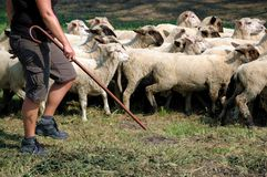 Shepherd and flock of sheep. Shepherd with shepherd's stick and flock of sheep royalty free stock photos