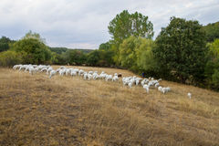 Shepherd with flock of sheep Royalty Free Stock Photo