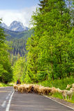 Shepherd with flock of sheep in Tatra mountains Stock Photos