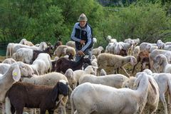 Shepherd and flock of sheeps in nature green meadow Stock Photography