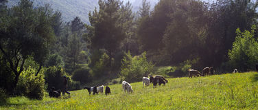 Shepherd and Flock. 2 shepherds with their flock Stock Images