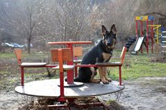 Shepherd. German Shepherd on the playground Royalty Free Stock Photos