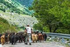 Shepherd with goats going to the mountain royalty free stock photos