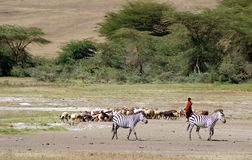 Shepherd of goats in Tanzania. Massan shepherd tending goats herd in the Ngorongoro Crater Stock Images