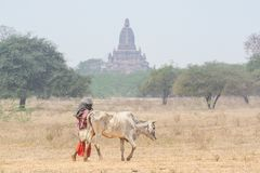 Shepherd grazing a gaunt cow through the dry field with temples and pagodas of ancient Bagan on background, Myanmar. Burma, asia, southeast, stupa, cattle stock photos