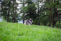 Shepherd guard dog wandering on the hill Royalty Free Stock Photography