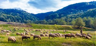 Shepherd guarding his herd in the Carpathians Mountains of Trans royalty free stock photos