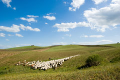 Shepherd and herd Stock Photography