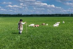 Shepherd and herd of goats on a pasture Royalty Free Stock Images