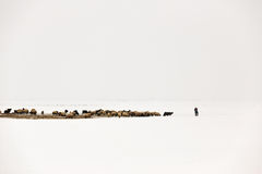 Shepherd and the herd in winter time Stock Photography