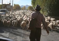 shepherd herding sheep through street in tibet stock images