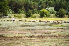 Shepherd herding sheep Royalty Free Stock Photos