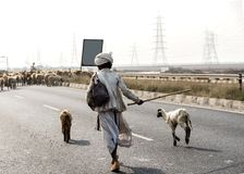Shepherd with herds of sheep on Kutch highway Gujarat India. Gandhidham Kutch highway in Gujarat India shepherd crossing road with sheep and goats Royalty Free Stock Images