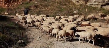 Shepherd with his flock royalty free stock photos