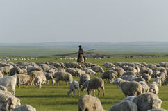 A Shepherd and His herd in Inner Mongolia Royalty Free Stock Image