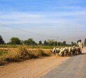 Shepherd With His Herd. A shepherd with his herd somewhere near Khushab Pakistan Royalty Free Stock Image
