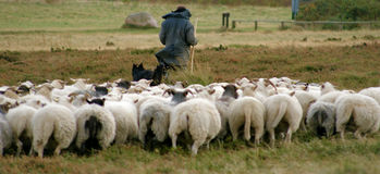 Shepherd and his sheep Royalty Free Stock Photos