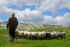 Shepherd with his sheep Stock Photography