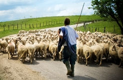 Shepherd with his sheep herd Stock Images