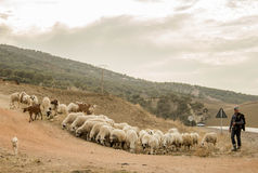 Shepherd and his sheep Stock Images
