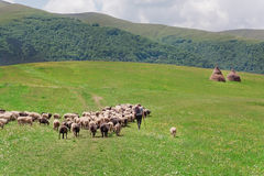 Shepherd with his sheep on pasture under great green hilly range of Carpathian mountains. Royalty Free Stock Images