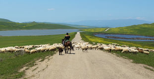 Shepherd on horseback runs  flock of sheep crossing the road Royalty Free Stock Image