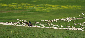 Shepherd on horseback tending  flock of sheep Stock Images