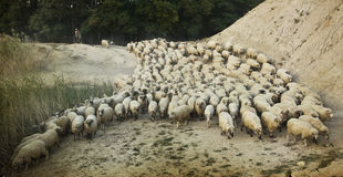 Shepherd with its flock, old photo Royalty Free Stock Photography