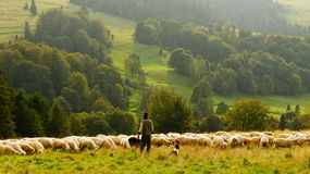 Shepherd with large flock of sheep