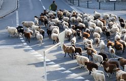 Shepherd and large flock of sheep stop traffic in small alpine village. In the Swiss Alps Stock Images