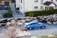 Shepherd and large flock of sheep stop traffic in small alpine village. In the Swiss Alps Stock Photography