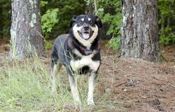 Shepherd le chien de race mélangé par Aussie Kelpie dehors sur la laisse rouge avec le collier de choc photographie stock libre de droits