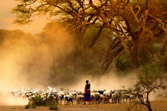 Shepherd leading a flock of goats Stock Image
