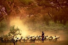 Shepherd leading a flock of goats Royalty Free Stock Image