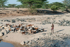 Shepherd leading a flock of goats in North Kenya Stock Images