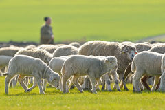A shepherd is leading his flock Royalty Free Stock Photos