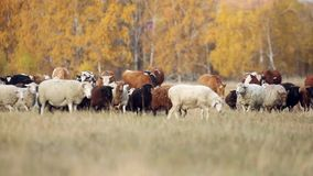 Shepherd leads a flock of sheep and cows in field stock video