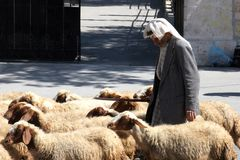 The shepherd leads a flock of sheep grazing just as in biblical times in Bethlehem. Israel Royalty Free Stock Photo