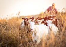 Shepherd leads the goats. On sunshine evening field royalty free stock photography