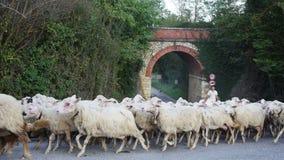 Shepherd leads his flock of sheep stock footage