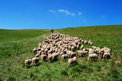 Shepherd leads his sheep. In nature Royalty Free Stock Images