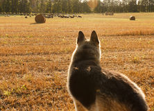 Shepherd looking at herd of sheep on the field. Royalty Free Stock Images