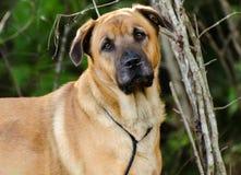 Shepherd Mastiff Shar Pei mix dog portrait Stock Images