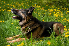 Shepherd on the meadow Royalty Free Stock Photography