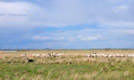 When the shepherd meets it`s flock Stock Image