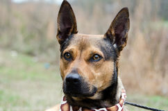 Shepherd mixed breed dog Stock Photo